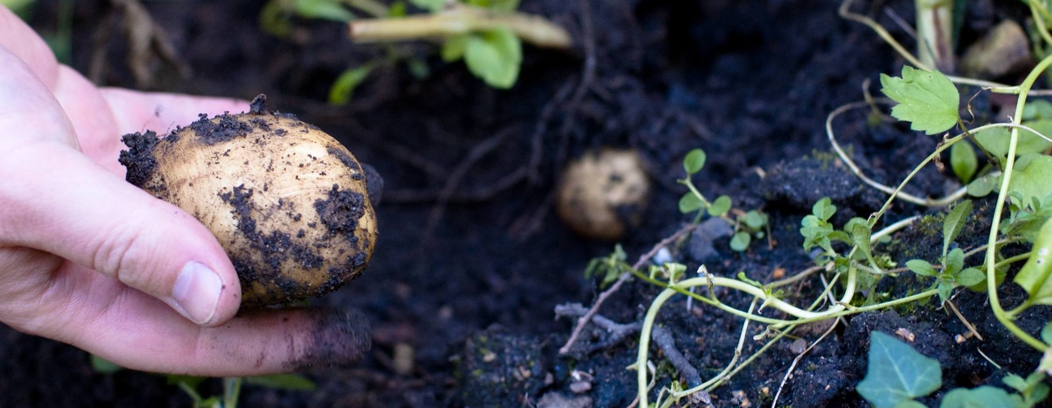 Kartoffel i aGRO-haven - foto af Rebecca Ann Kaagh
