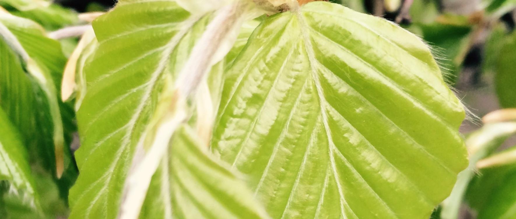 bøgeblade